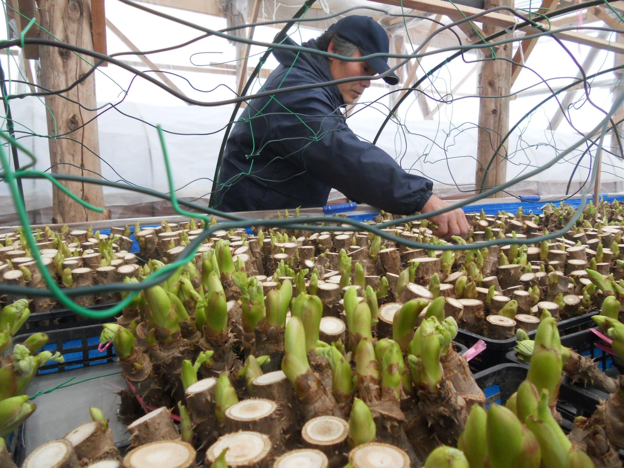 JAグループ新潟 | タラの芽で稼ぐ/加温に工夫し高品質/新潟県 ...