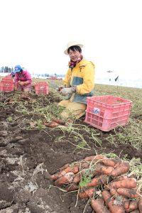 関谷0403雪下ニンジン出荷収穫スタートIMG_9116.jpg-1