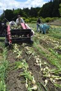 タマネギの収穫をすすめる農事組合法人井岡ファームのメンバー
