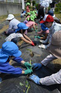 柏崎 保育園児と一緒にサツマイモ苗植え体験