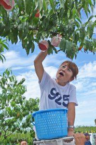 自ら栽培を手掛けた桃を収穫する山田さん