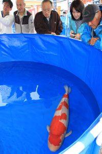 越後おぢや 新潟県錦鯉品評会