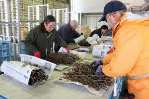 新潟市 日本梨穂木の出荷順調
