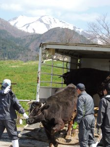 中川・0413・和牛放牧始まる/市営堂林放牧場01