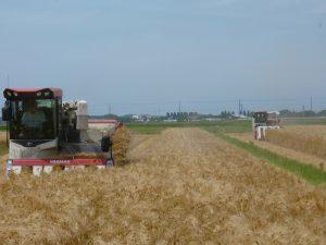 胎内市 大麦収穫開始