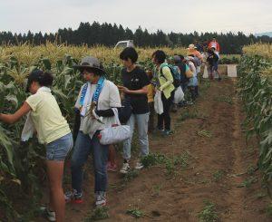 津南町 スイートコーン収穫体験