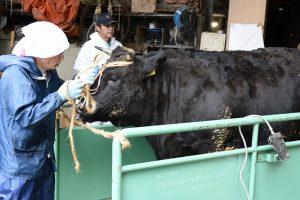 越後おぢや 肉牛体重測定会