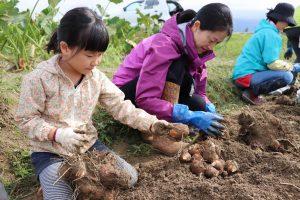 新潟みらい 親子あぐりスクール里芋収穫