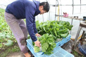 十日町 伝統野菜 城之古菜初出荷