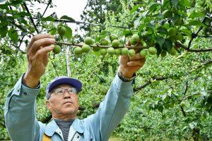 にいがた南蒲 「越の梅」収穫・出荷始まる