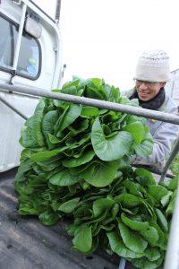 十日町の伝統野菜 初出荷
